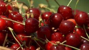 Cat costa un kilogram de cirese la Paulesti, in comuna consacrata de Festivalul Cireselor