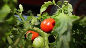 """Romanii au fentat Programul """"Tomata"""". Ministru: Banii s-au dus si la altii, cu cereri fictive. Am cerut mai multa responsabilitate"""