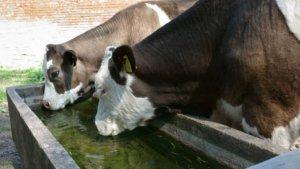 Necesarul de apa pentru vaci pe timpul verii, in functie de varsta si lactatia animalelor!