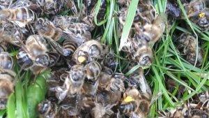"""Teiul a devenit toxic pentru albine! Stupar: """"Am un pumn de albine moarte in fata stupului!"""""""